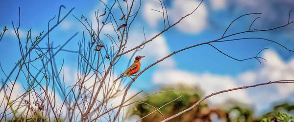 Photograph - Red Red Robin Mug Shot by John M Bailey