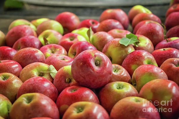 Macintosh Apple Photograph - Red Ripe Apples by Elizabeth Dow