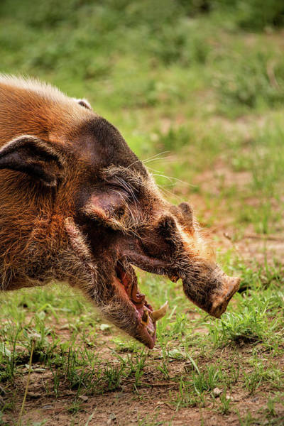 Photograph - Red River Hog by Don Johnson