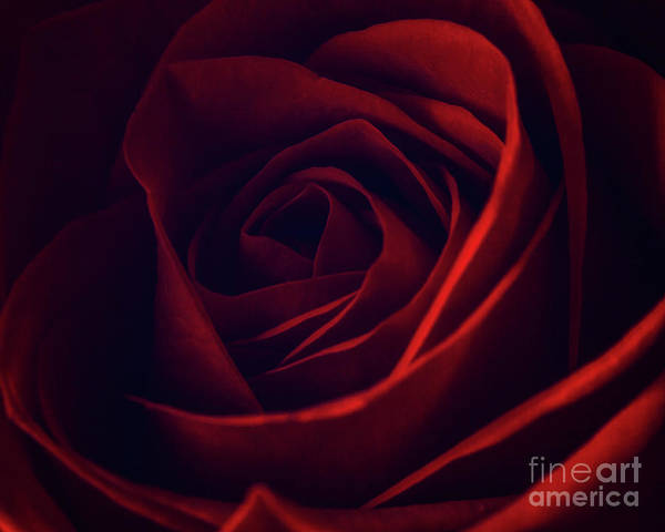 Photograph - Red Rose 2 by Tim Wemple