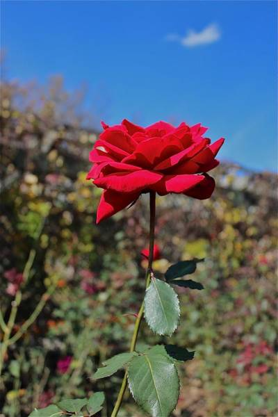Wall Art - Photograph - Red Rose Against Blue Sky by Dana Dowling