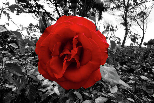 Photograph - Blood Red Rose In Black And White Foliage by Aidan Moran