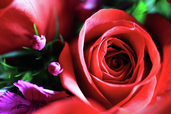Photograph - Red Rose by Angela Murdock