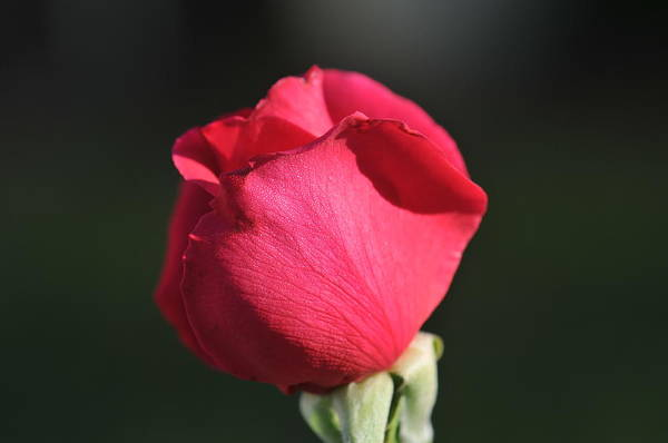 Wall Art - Photograph - Red Rose Bud by Bill Perry