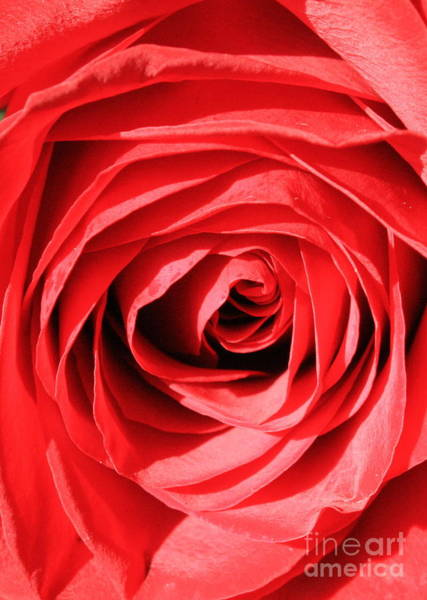 Photograph - Red Rose by Carol Groenen