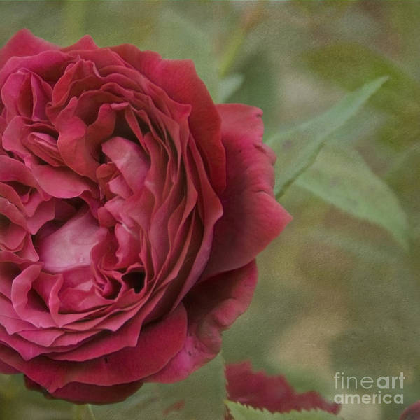 Photograph - Red Rose by Cindy Garber Iverson