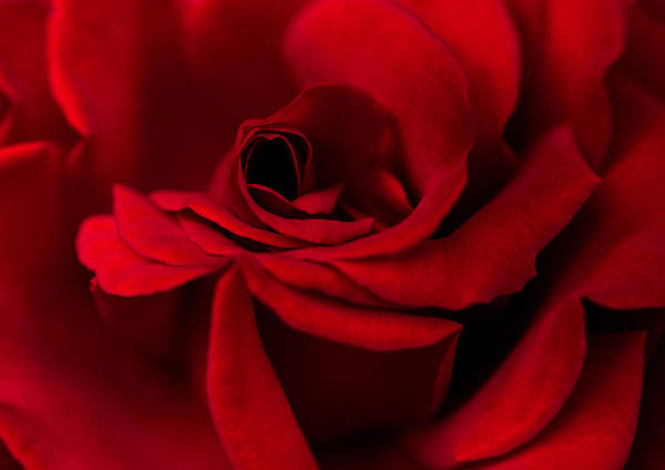 Photograph - Red Rose by Clare Bambers