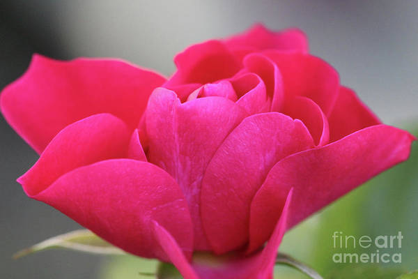Photograph - Red Rose Close Up by Donna L Munro
