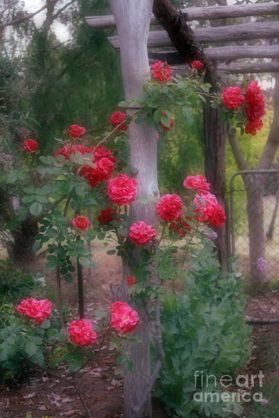 Photograph - Red Rose Dream by Elaine Teague