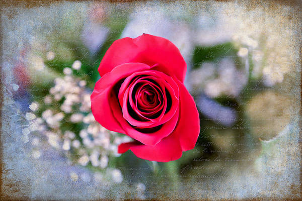 Photograph - Red Rose Elegance by Milena Ilieva