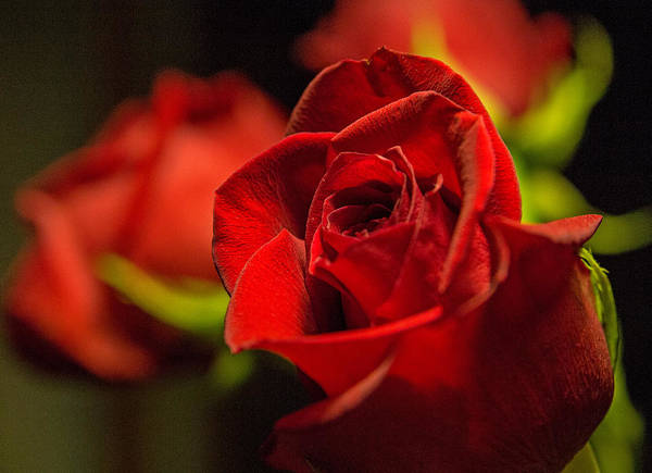 Photograph - Red Rose by Frank Morales Jr