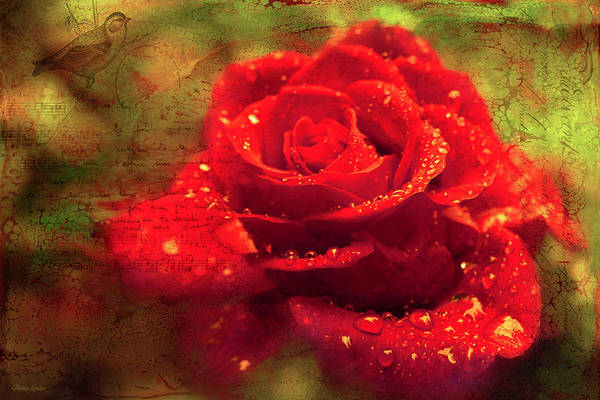 Photograph - Red Rose In French by Anna Louise