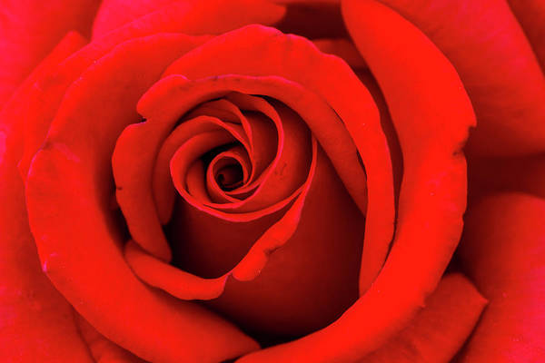 Photograph - Red Rose Insiders by Teri Virbickis