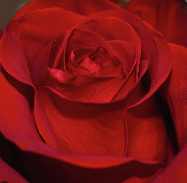 Photograph - Red Rose by Karen Harrison