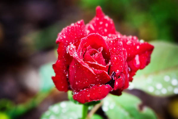 Photograph - Red Rose by Mark Currier