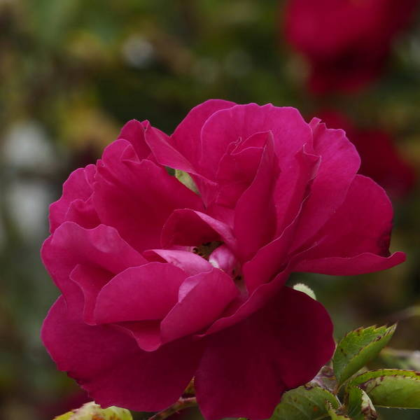 Red Rose Miniature  Art Print