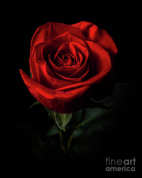 Photograph - Red Rose by Tim Wemple