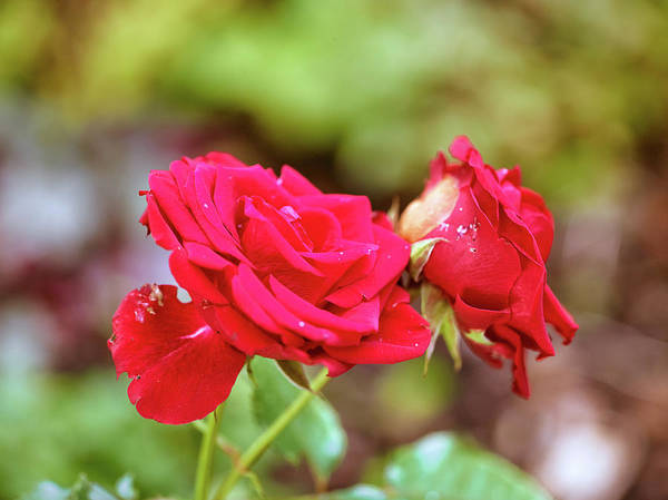 Photograph - Red Roses #db by Leif Sohlman
