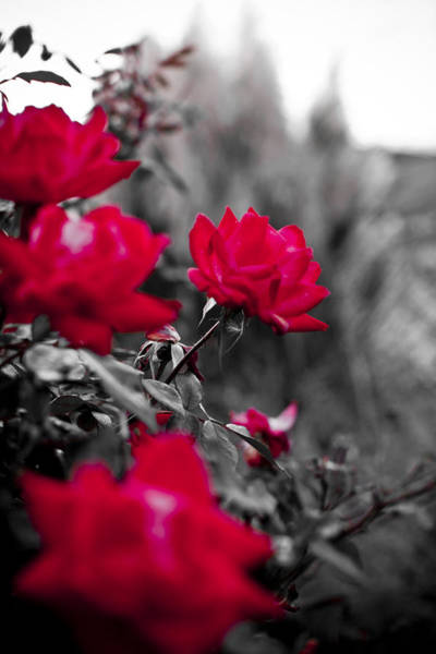 Red Roses Photograph - Red Roses by Dustin K Ryan