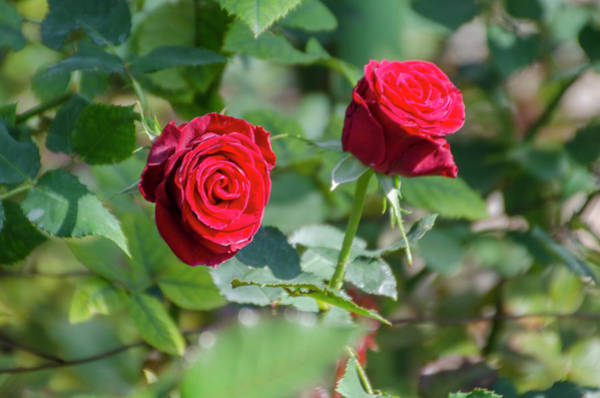 Photograph - Red Roses From The Garden by Bill Cannon