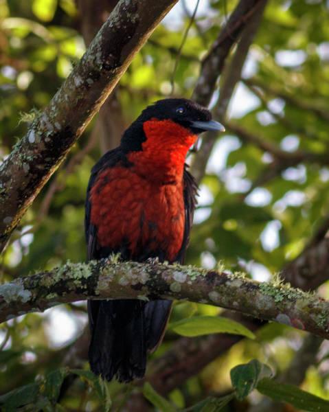 Photograph - Red Ruff Fruitcrow Otun Quimbaya Pereira Colombia by Adam Rainoff