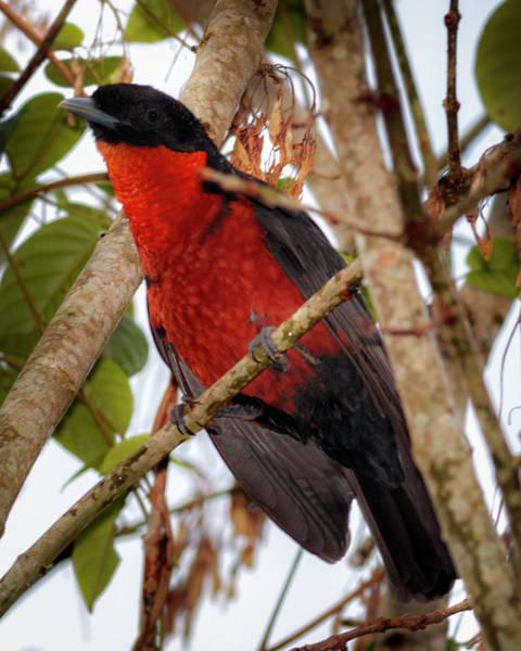Photograph - Red Ruff Fruitcrow Rio Otun Quimbaya Pereira Colombia by Adam Rainoff