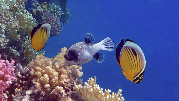 Photograph - Red Sea Butterflyfish And Pufferfish by Johanna Hurmerinta