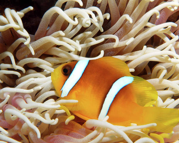 Photograph - Red Sea Clownfish, Eilat, Israel 6 by Pauline Walsh Jacobson