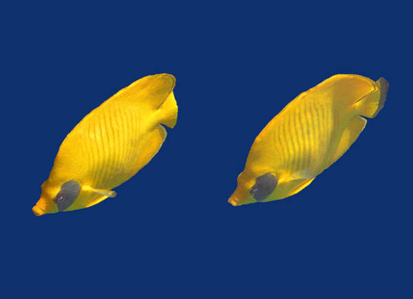 Photograph - Red Sea Masked Butterflyfish On Blue by Johanna Hurmerinta