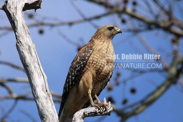 Photograph - Red Shouldered Hawk 7806 by Captain Debbie Ritter