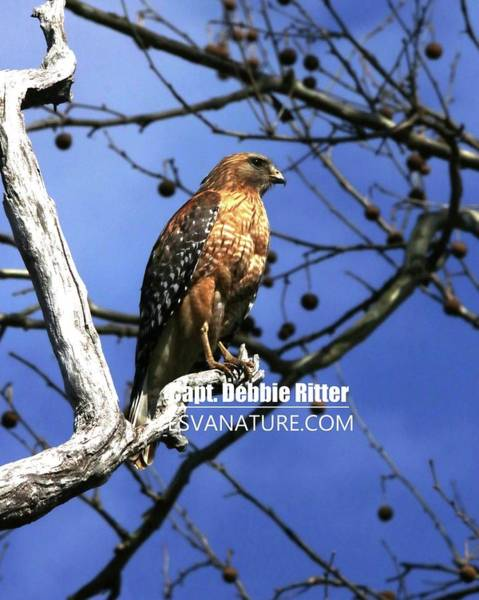 Photograph - Red Shouldered Hawk 7810 by Captain Debbie Ritter