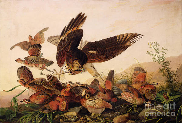Wall Art - Painting - Red Shouldered Hawk Attacking Bobwhite Partridge by John James Audubon