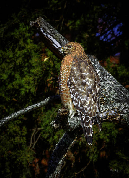 Photograph - Red-shouldered Hawk by Barry Jones