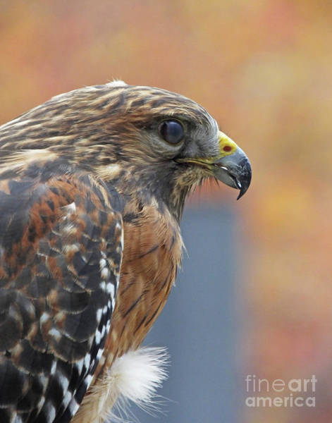 Photograph - Red Shouldered Hawk Chattahoochie Nature Center Roswell Ga by Lizi Beard-Ward