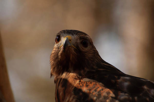 Photograph - Red Shouldered Hawk Close Up by Chris Flees