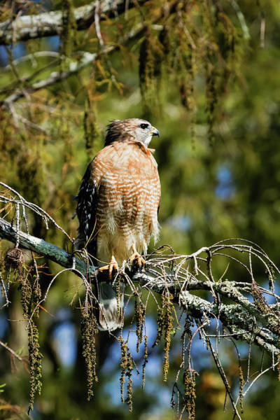 Photograph - Red-shouldered Hawk by Dawn Currie