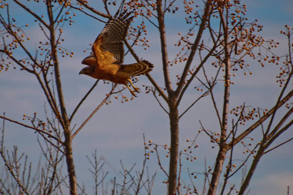 Photograph - Red Shouldered Hawk In Flight by Chris Flees
