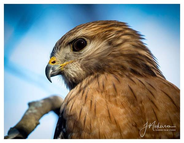 Photograph - Red Shouldered Hawk by John Nickerson