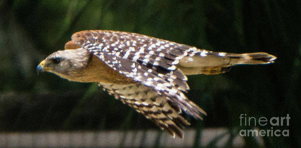 Photograph - Red-shouldered Hawk Mid Flight by Vincent Billotto