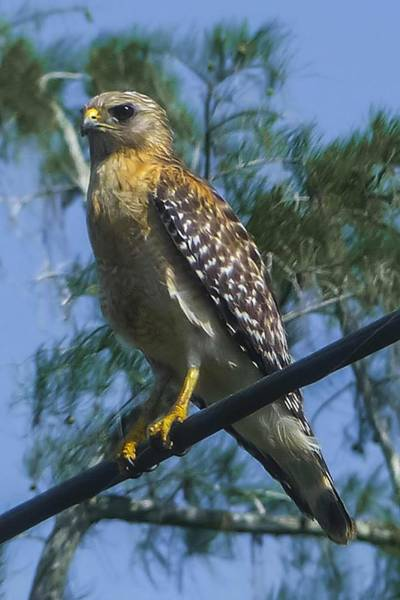 Photograph - Red Shouldered Hawk by NaturesPix