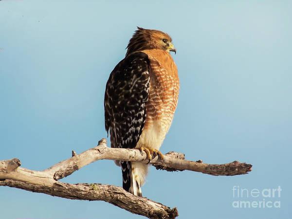 Bird Watcher Photograph - Red-shouldered Hawk Portrait by Robert Frederick