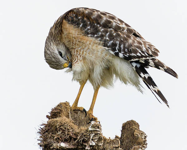 Photograph - Red-shouldered Hawk Preening II by Dawn Currie
