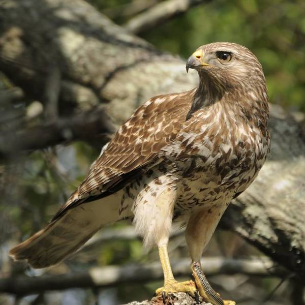 Photograph - Red Shouldered Hawk With Prey by Bradford Martin