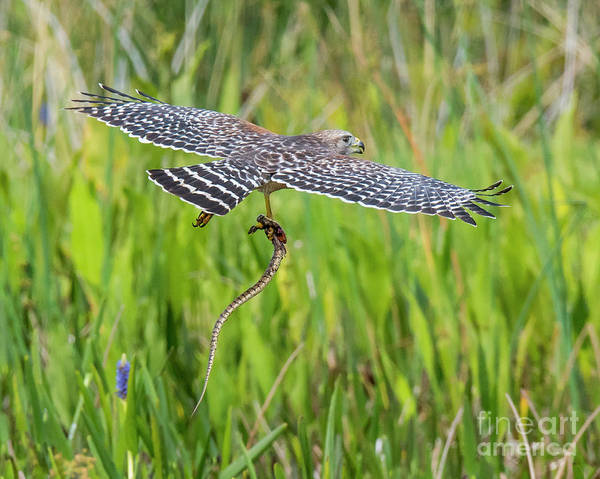 Photograph - Red Shouldered Hawk With Prey by Michael D Miller