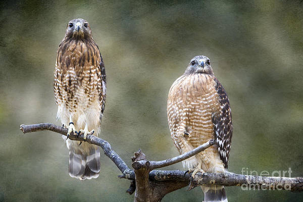 Photograph - Red-shouldered Hawks Textured - Maymont by Jemmy Archer