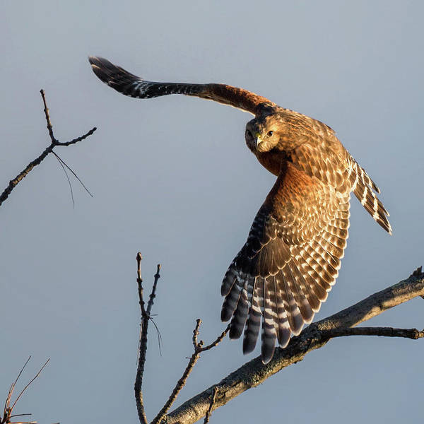 Photograph - Red Shoulered Hawk In Flight Square by Bill Wakeley