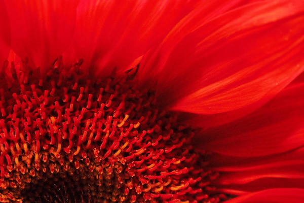 Sunflower Seeds Photograph - Red Silk by Marnie Patchett