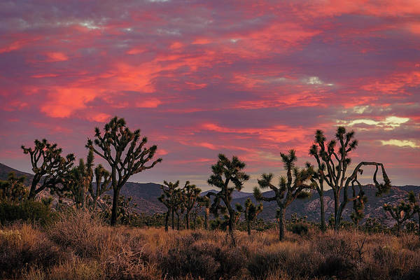 Photograph - Red Sky Over Joshua Tree by John Hight
