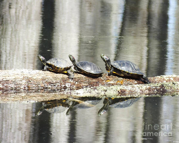 Photograph - Red Sliders Mineral Slough Ghost River Lagrange Tn by Lizi Beard-Ward