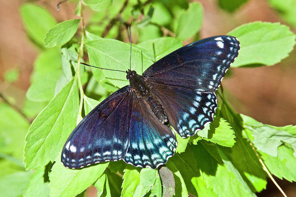 Wall Art - Photograph - Red-spotted Purple 4209 by Michael Peychich